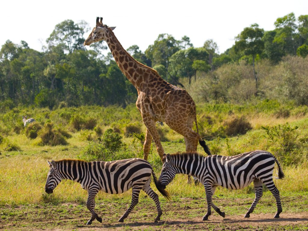 63322723 - giraffe in the savannah along with zebras. kenya. tanzania. east africa. an excellent illustration.