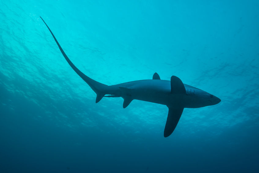 67655096 - common thresher sharks are pelagic and live in the deep ocean. however, malapascua offers a unique chance to see these incredible sharks at close range while they are cleaned. monad shoal, philippines, november.