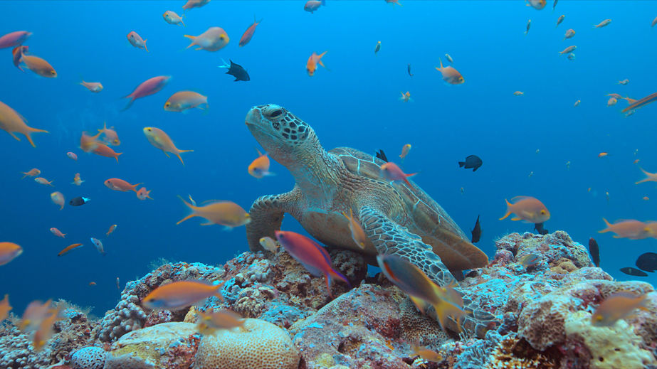 70090163 - green sea turtle on a colorful coral reef with plenty fish.