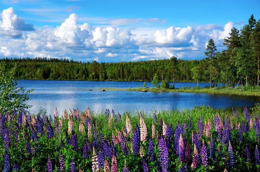 14456943 - beautiful scandinavian summer landscape with lupies and lake